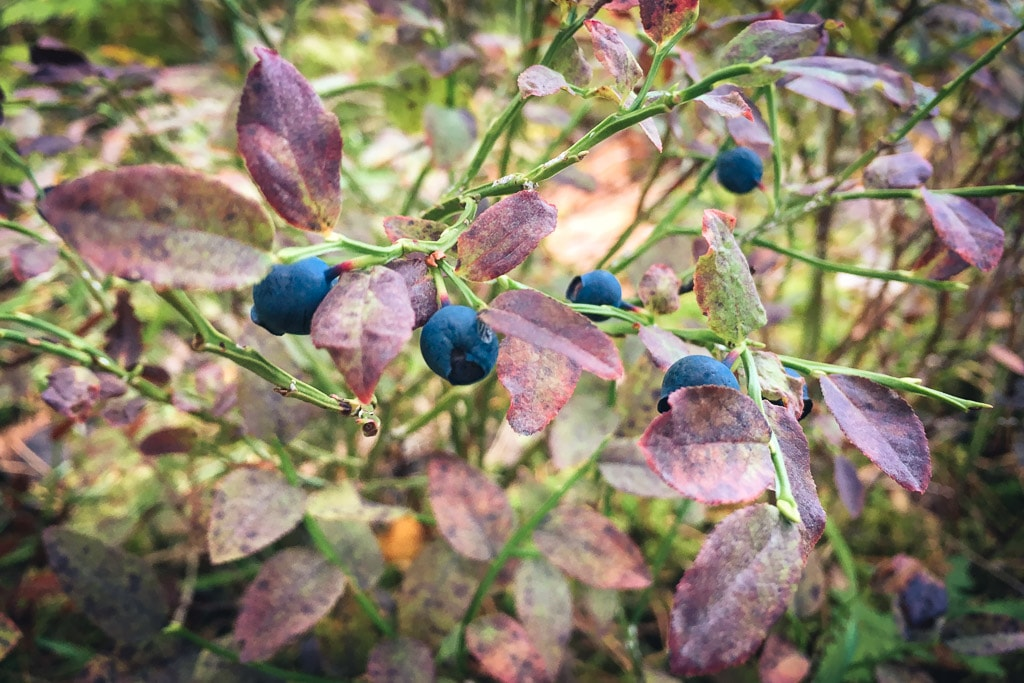 Blueberries Finland